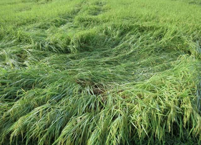 台風対策、倒れた稲