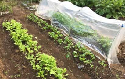 畑に植え付けされた野菜