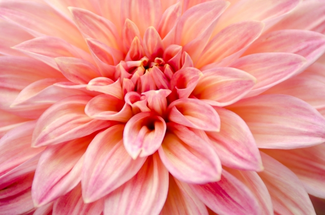 多年草のダリアの花が大きく美しく咲く