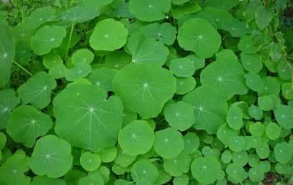 ナスタチウムの葉