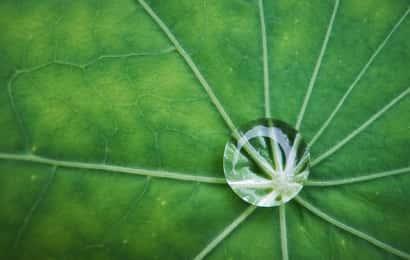 ナスタチウムの葉の上の水滴