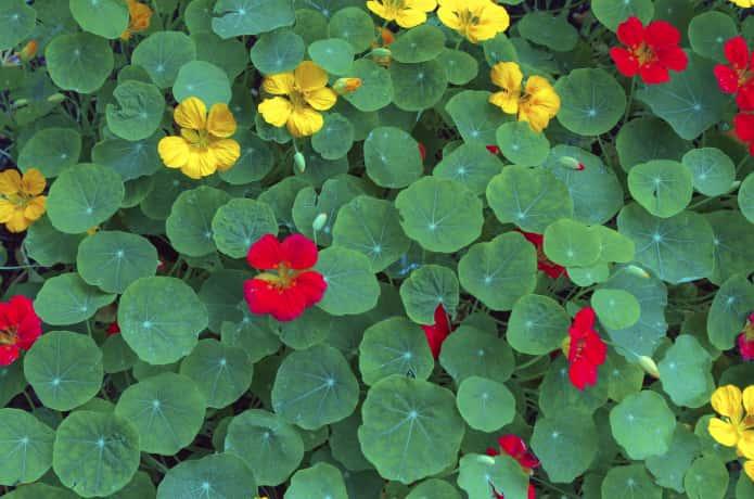 ナスタチウムの花と葉