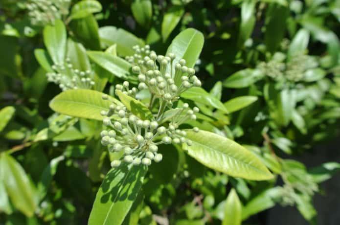 レモンマートルの葉とつぼみ