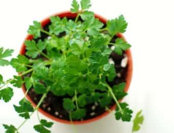 鉢植えのイタリアンパセリ