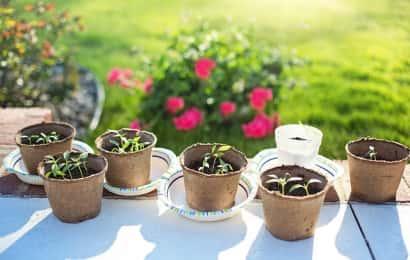 いくつかの鉢と芽