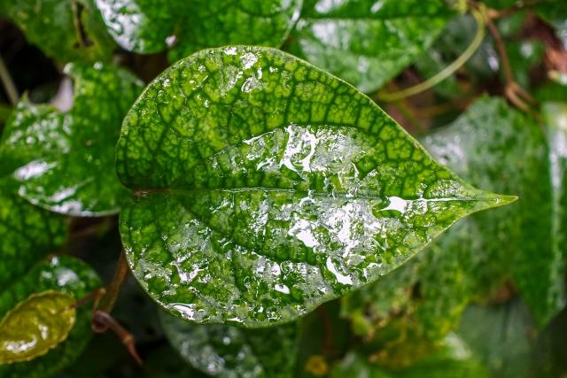 濡れた葉、展着剤