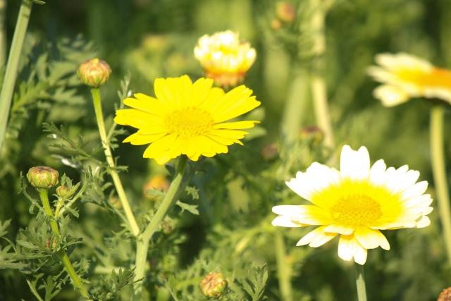 シュンギク、花