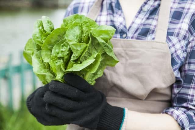 サラダ菜の収穫
