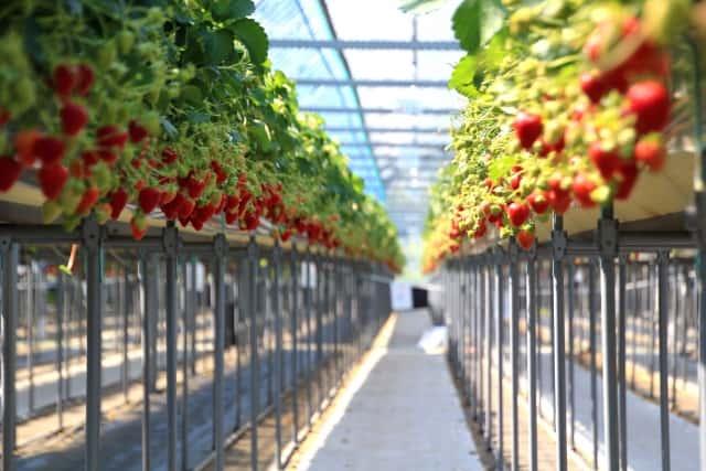 養液栽培 いちご