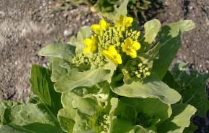 白菜の花茎