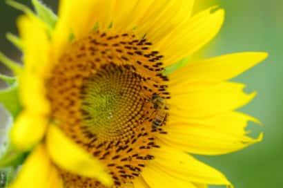 ひまわり、花の特徴