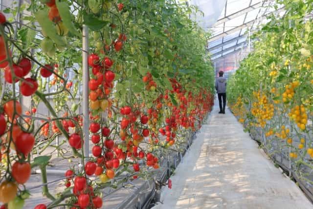養液栽培 トマト