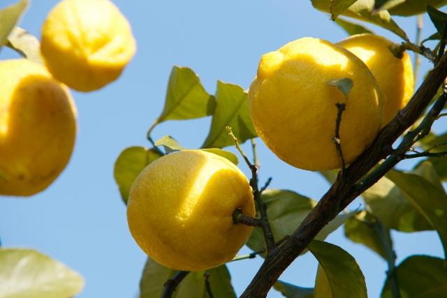 レモンの木にレモンがなる