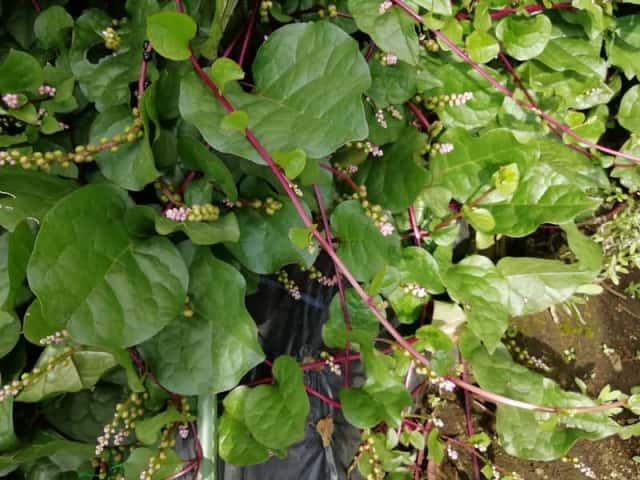 ツルムラサキ栽培