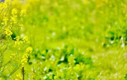 花が咲いて高く生長したのらぼう菜