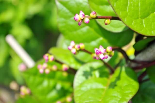 ツルムラサキ花