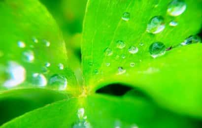 水に濡れた三つ葉
