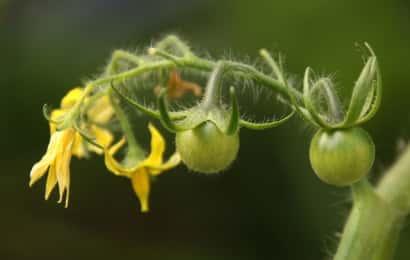 トマト 花