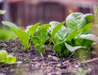ホウレンソウ、栽培