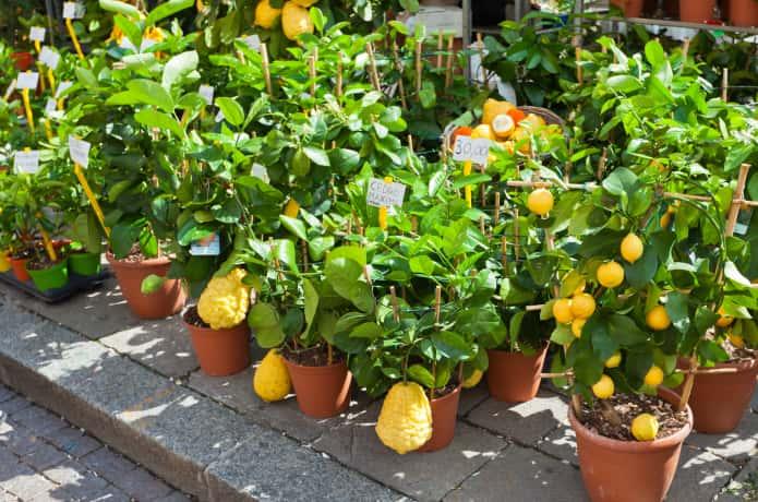たくさんのレモンの苗木