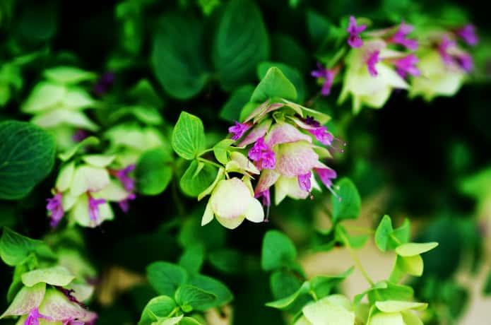 かわいい花が咲いたオレガノ・ケントビューティ