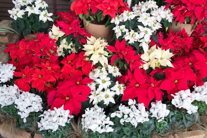 冬、寄せ植え、シクラメン、ポインセチア