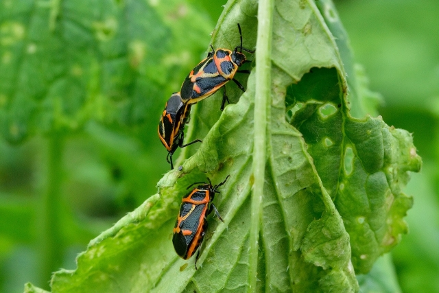 農業害虫のカメムシ