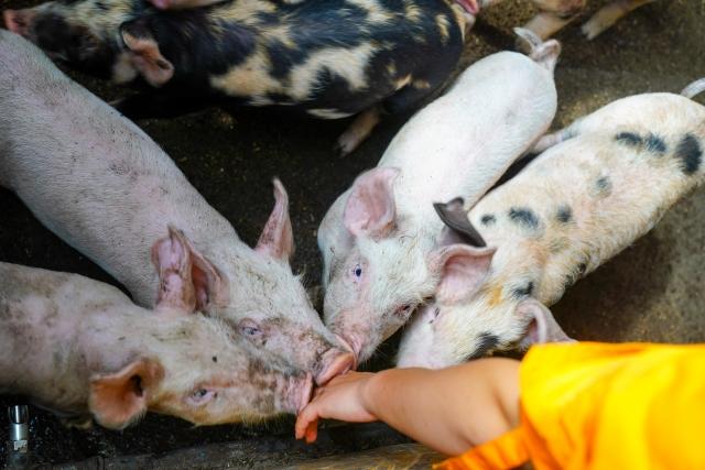 人の手に集まる子豚