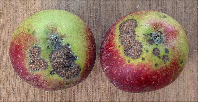 リンゴ 黒星病