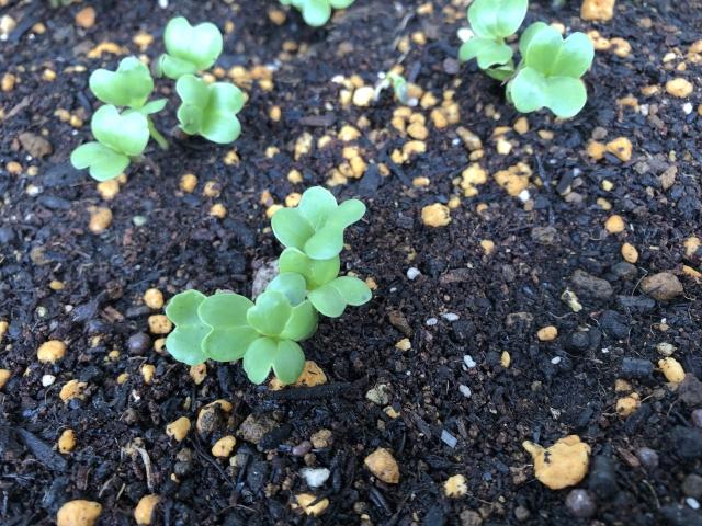 大根の芽が土から出てくる