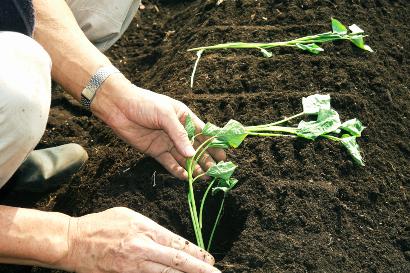 サツマイモの植え付け