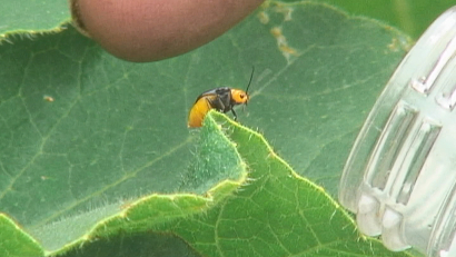 カボチャの葉につくウリハムシ