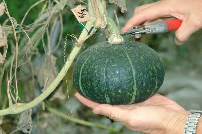 カボチャの収穫