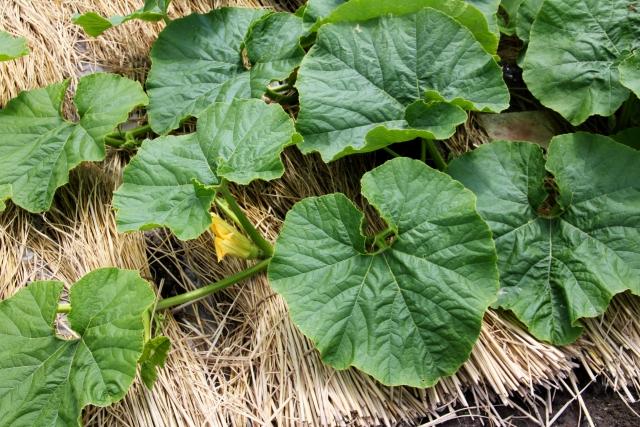 カボチャの地這い栽培