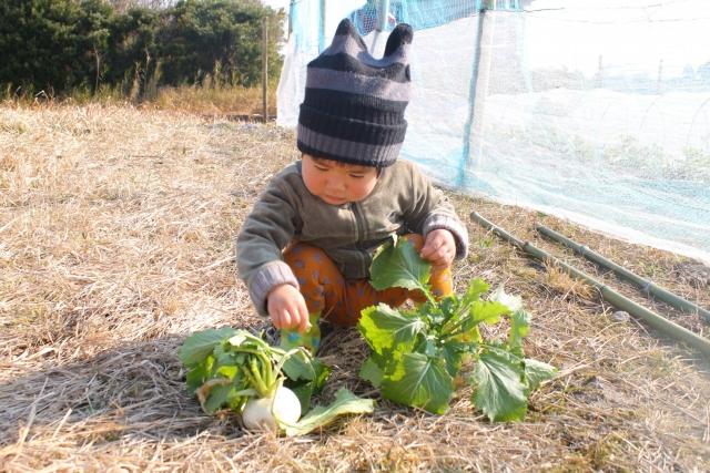 冬に子供がカブを収穫