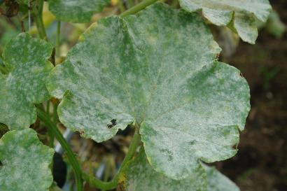 ウドンコ病になったカボチャの葉