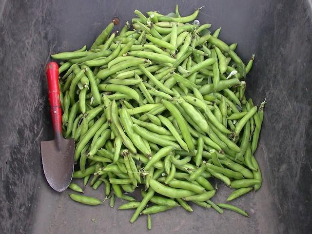 ソラマメ、収穫