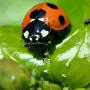 テントウムシ、天敵昆虫、天敵製剤