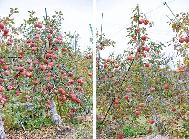 エキスを使った樹と使わなかった樹のりんご