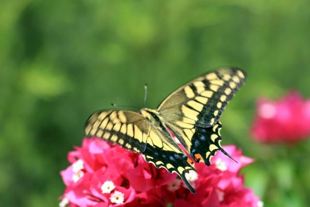 ピンク色の花に止まったキアゲハの成虫