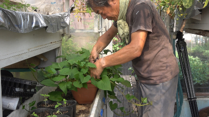 サツマイモの育苗