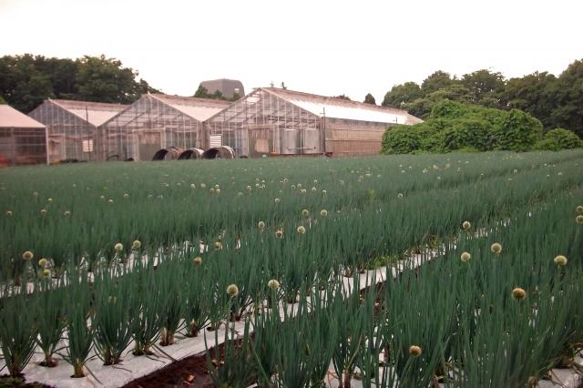 ビニールハウスとネギ畑