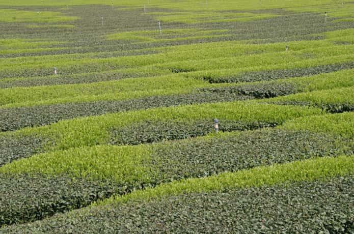 霜害を受けた茶畑