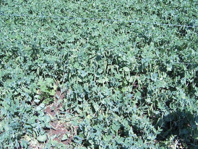 サヤエンドウの一種スナップエンドウの栽培