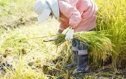 稲刈りをする女性