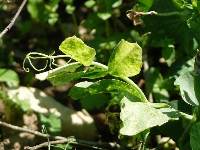 病害虫におかされたサヤエンドウの茎葉