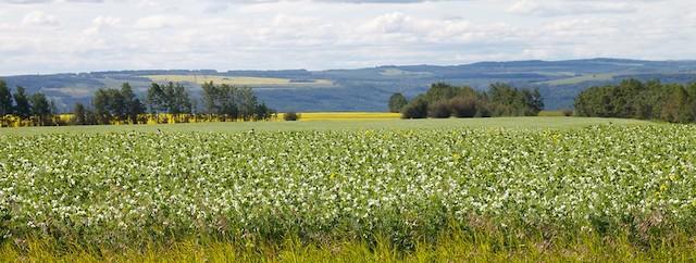 サヤエンドウの大規模栽培