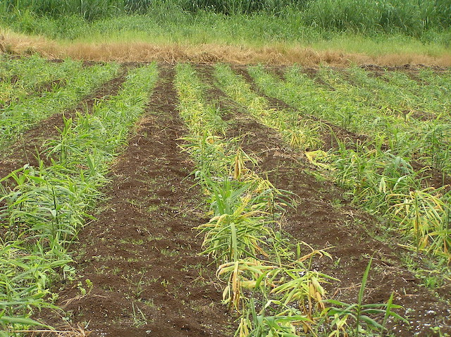 ショウガ、畑、栽培