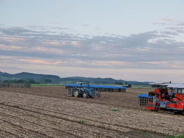 タマネギの収穫風景
