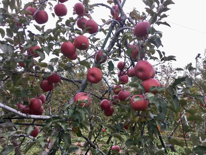 長野県の農家のりんご